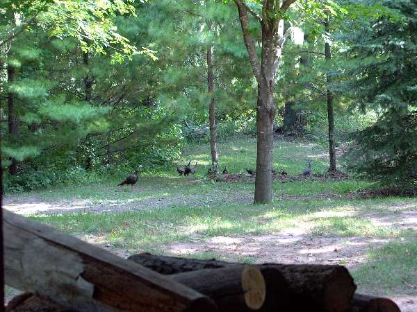 Our little flock of turkeys visiting the back yard again